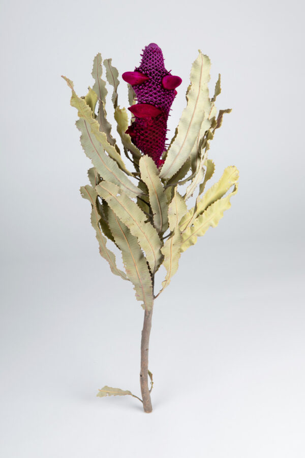 Banksia Menziesii Cones Tinted Red