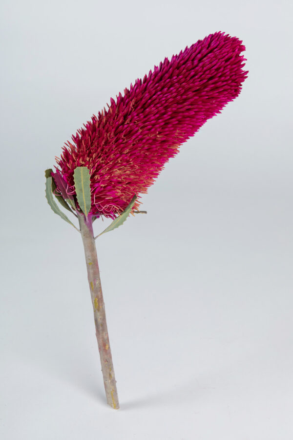 Banksia Sceptrum Candle Tinted Hot PInk