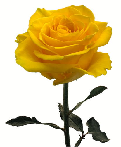 Rose Impact