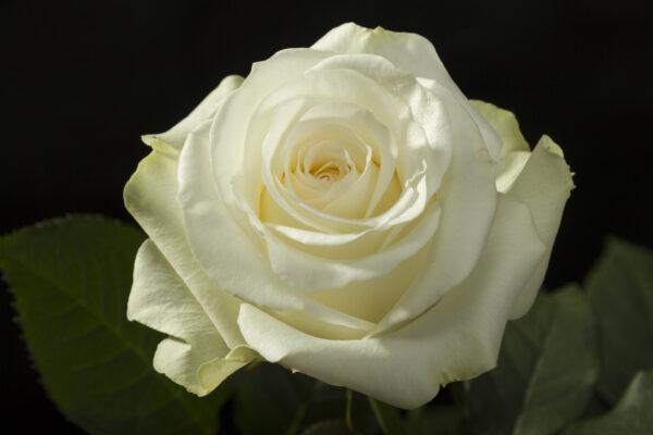 Rose Inocencia