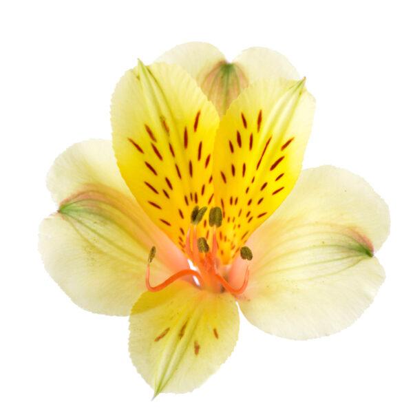 Alstroemeria Iris