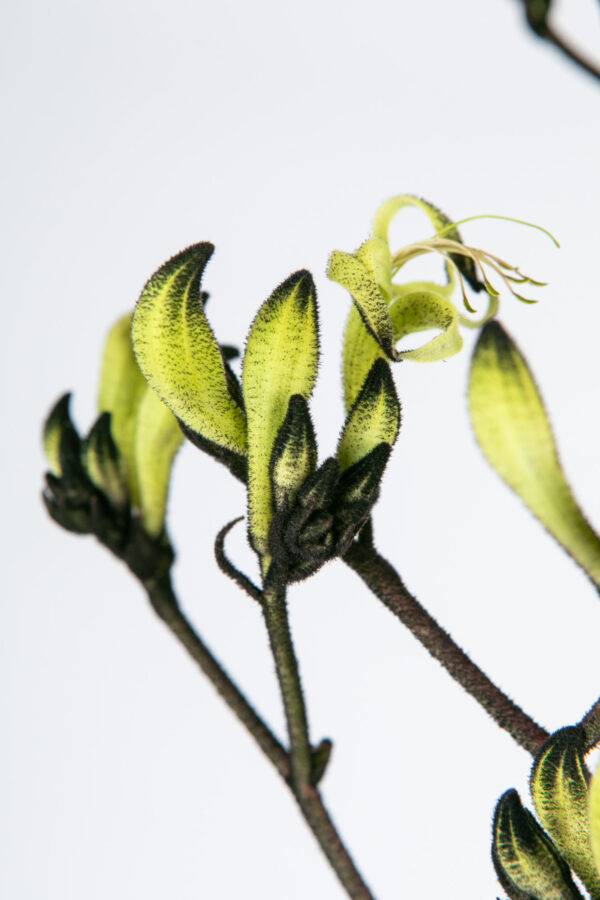 Kangaroo Paw Black & Green