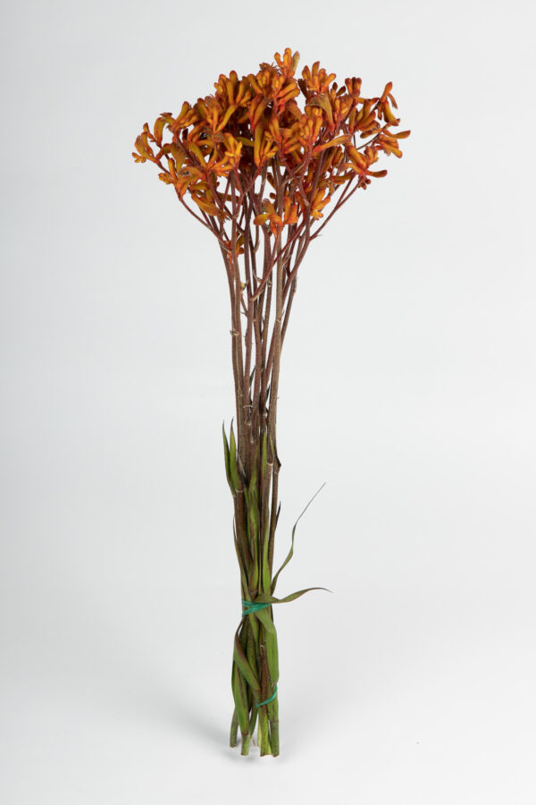 Kangaroo Paw Orange