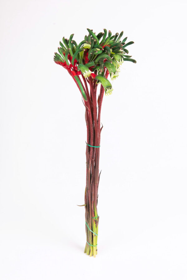Kangaroo Paw Red & Green