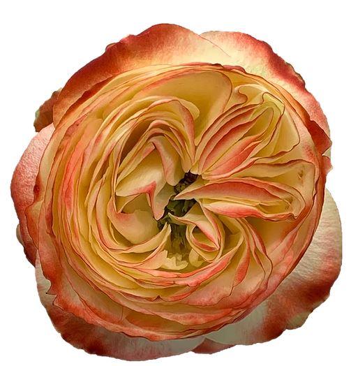 Rose Karma