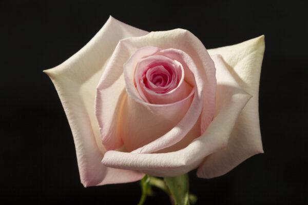 Rose Katherine
