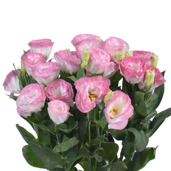 Lisianthus Largo Pink Picotee VIE