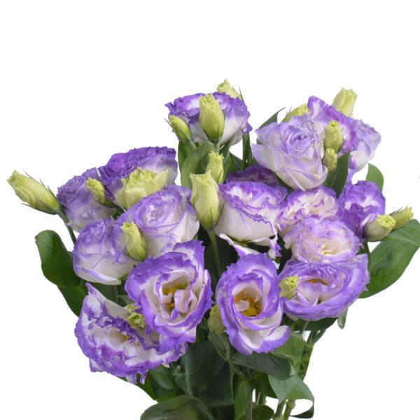 Lisianthus Largo Purple Picotee VIE