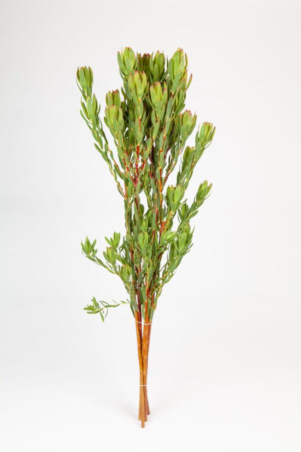 Leucadendron Summer Green Multi