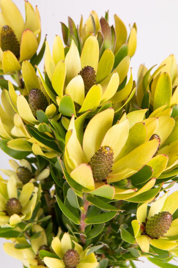 Leucadendron Golden Cup Multi
