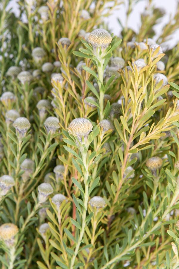 Leucadendron Linifolium Male Multi