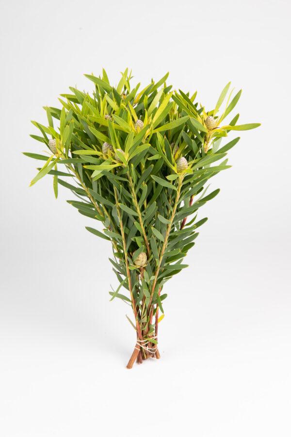 Leucadendron Coniferum Multi