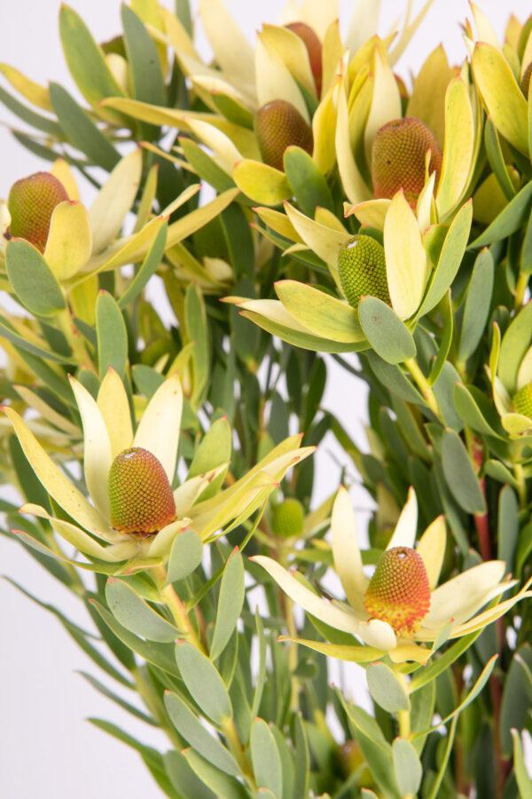 Leucadendron Discolor Cherry Pride Multi