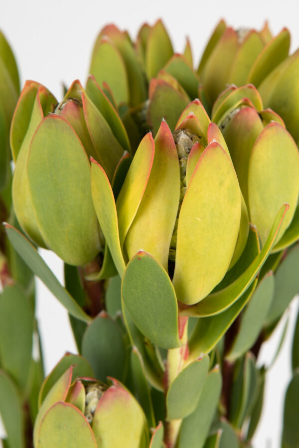 Leucadendron Discolor Female Green Single