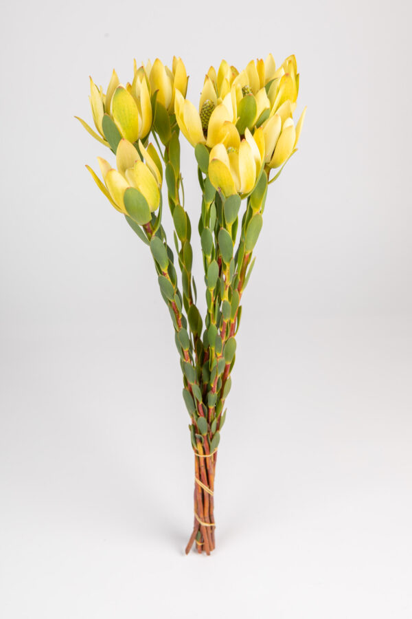 Leucadendron Discolor Female Yellow Single