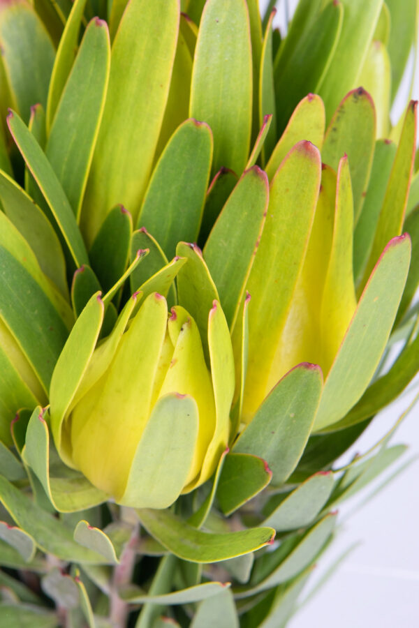 Leucadendron Laureolum Yellow Single