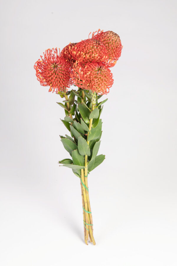 Leucospermum Red Emperor