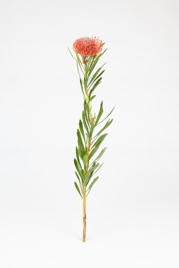 Leucospermum Tango