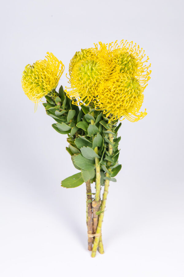 Leucospermum Yellow Bird