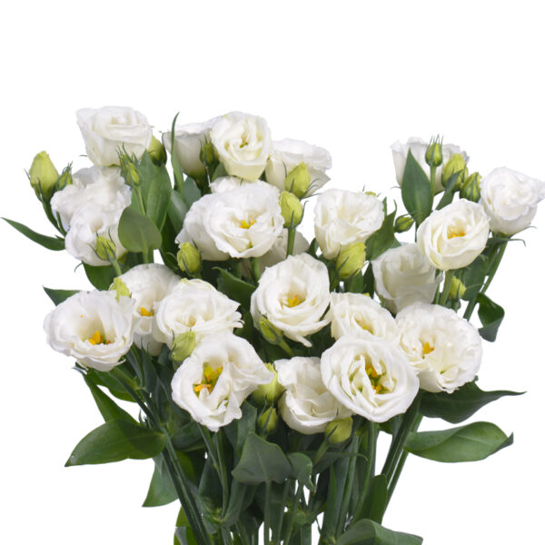 Lisianthus Little SM (Wedding White)