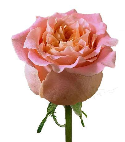 Rose Louise