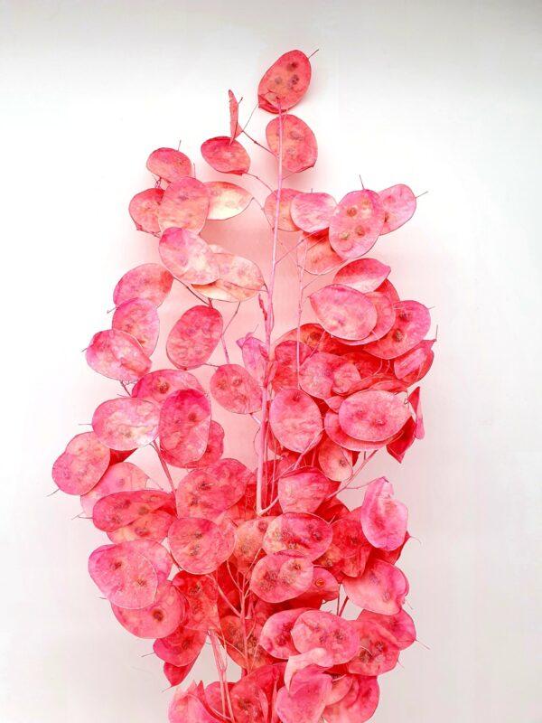 Lunaria Preserved Dark Pink