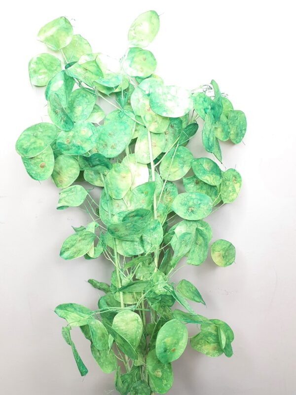 Lunaria Preserved Light Green