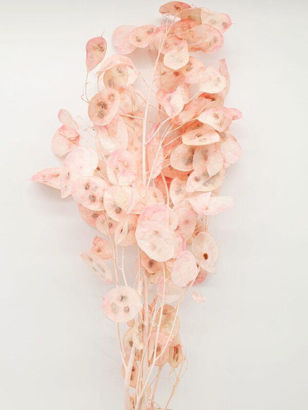 Lunaria Preserved Light Pink