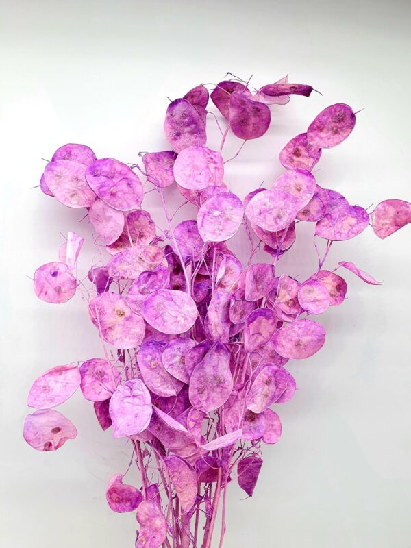 Lunaria Preserved Light Violet
