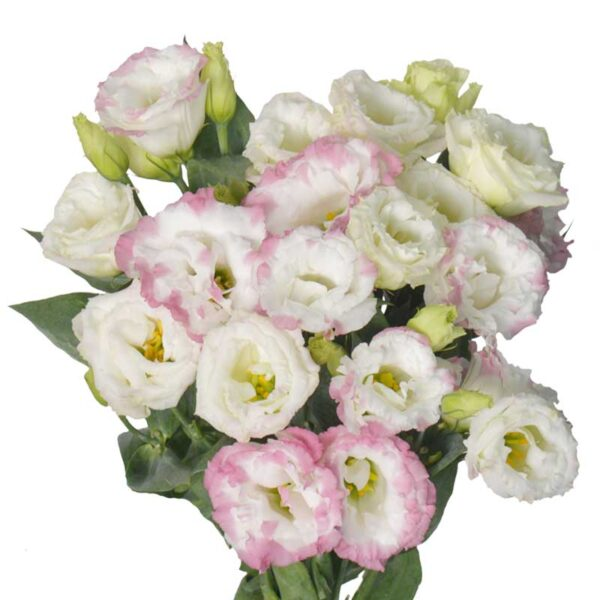 Lisianthus Marble Pink