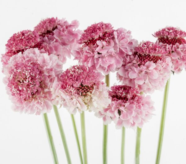 Scabiosa Candy