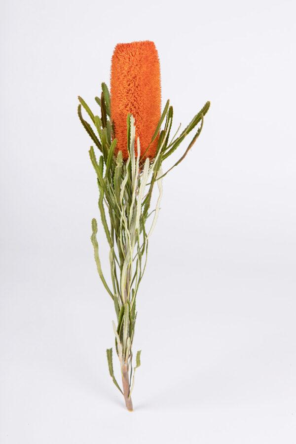 Banksia Attenuata Fluffy Tinted Orange