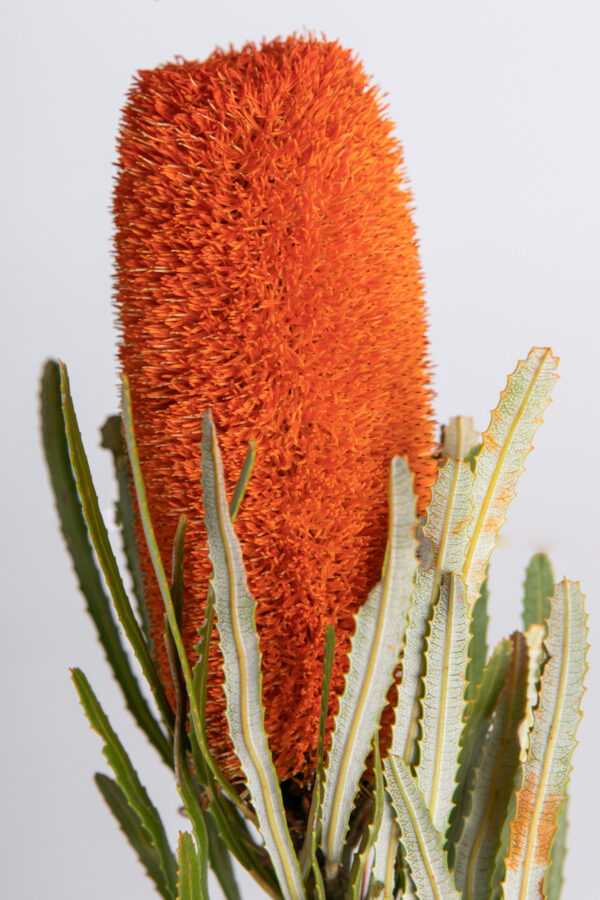 Banksia Attenuata Fluffy Tinted Orange