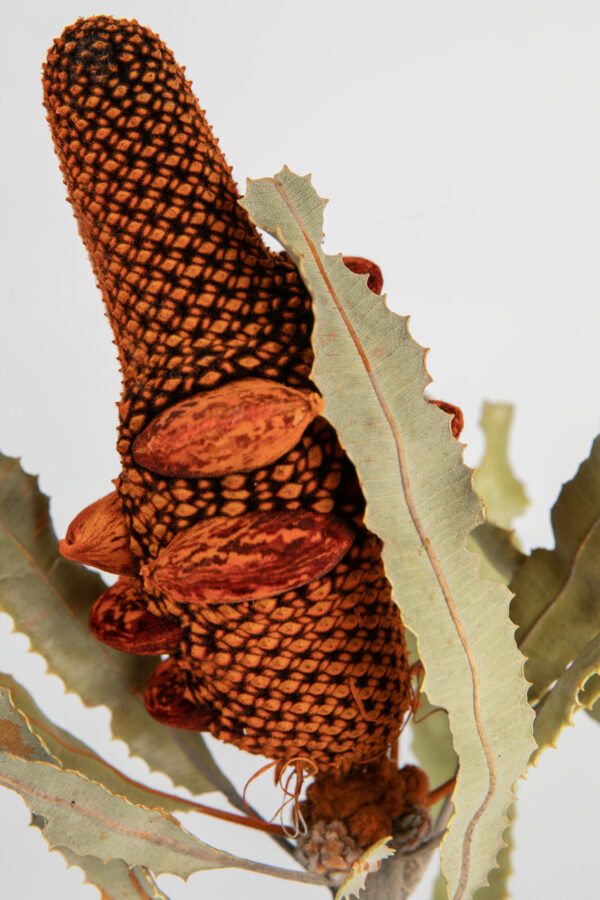 Banksia Menziesii Cones Tinted Orange