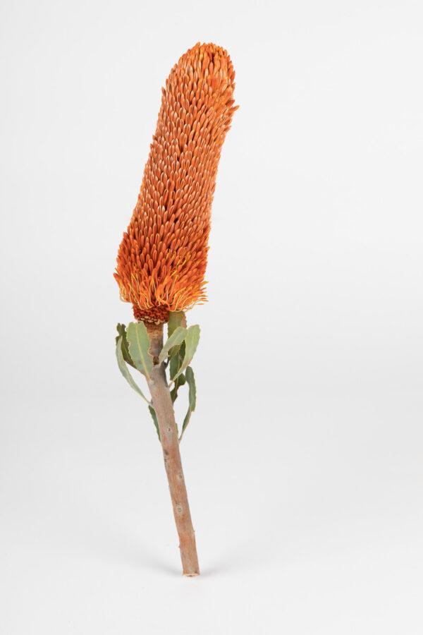 Banksia Sceptrum Candles Tinted Orange