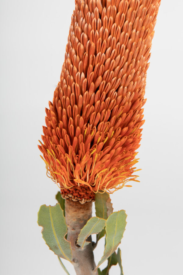 Banksia Sceptrum Candles Tinted Orange
