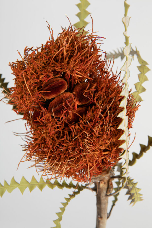 Banksia Speciosa Cones Tinted Orange