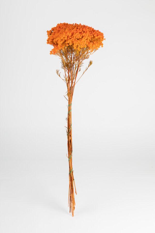 Verticordia Nitens Tinted Orange