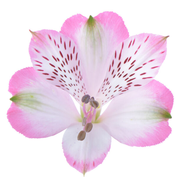 Alstroemeria Pink Surprise