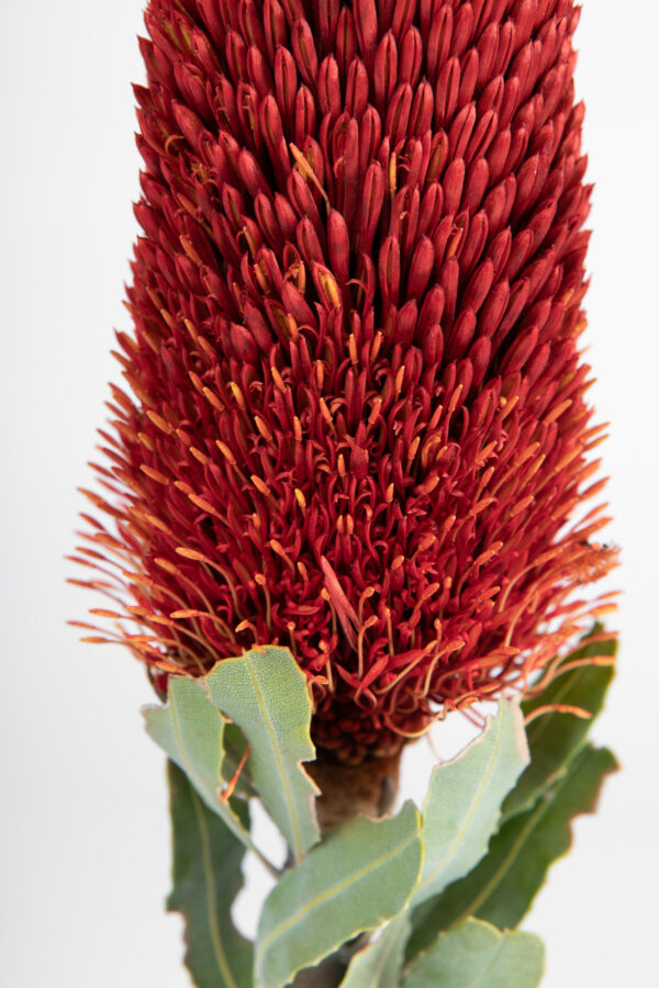 Banksia Sceptrum Candle Red