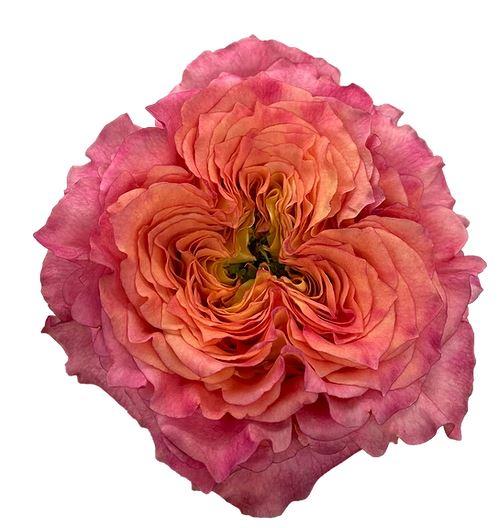 Rose Ashley Spirit