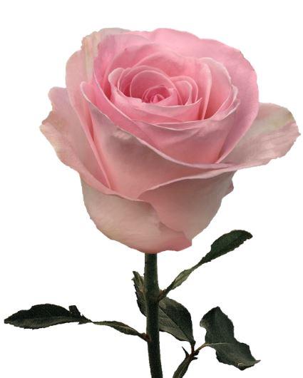Rose Greatful