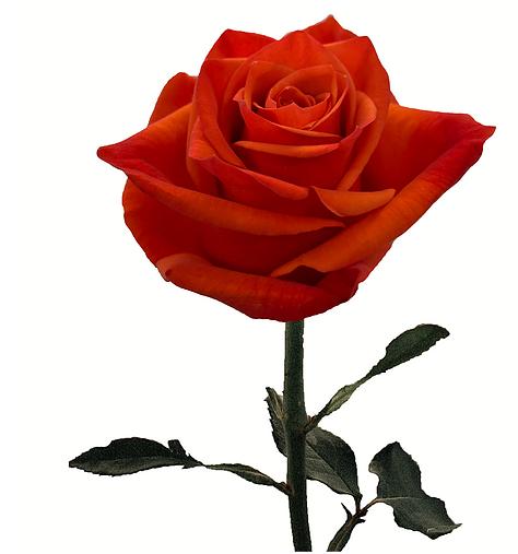 Rose Hilux