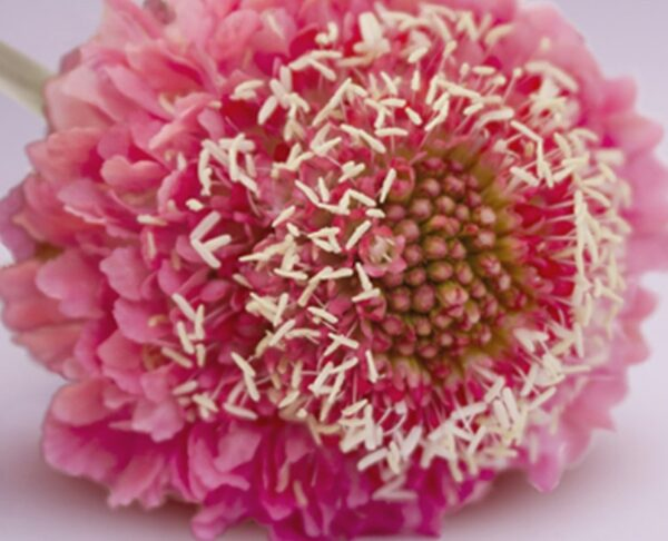 Scabiosa Scoop Candy