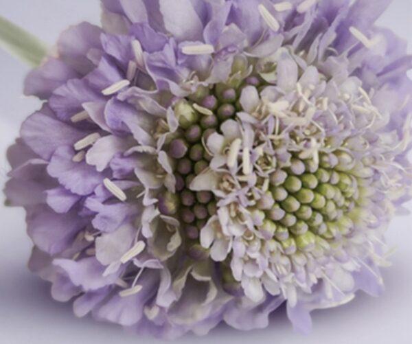 Scabiosa Lavender