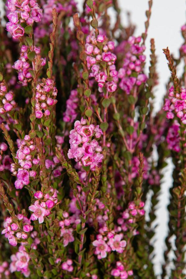 Scholtzia Pink Tinted Hot Pink