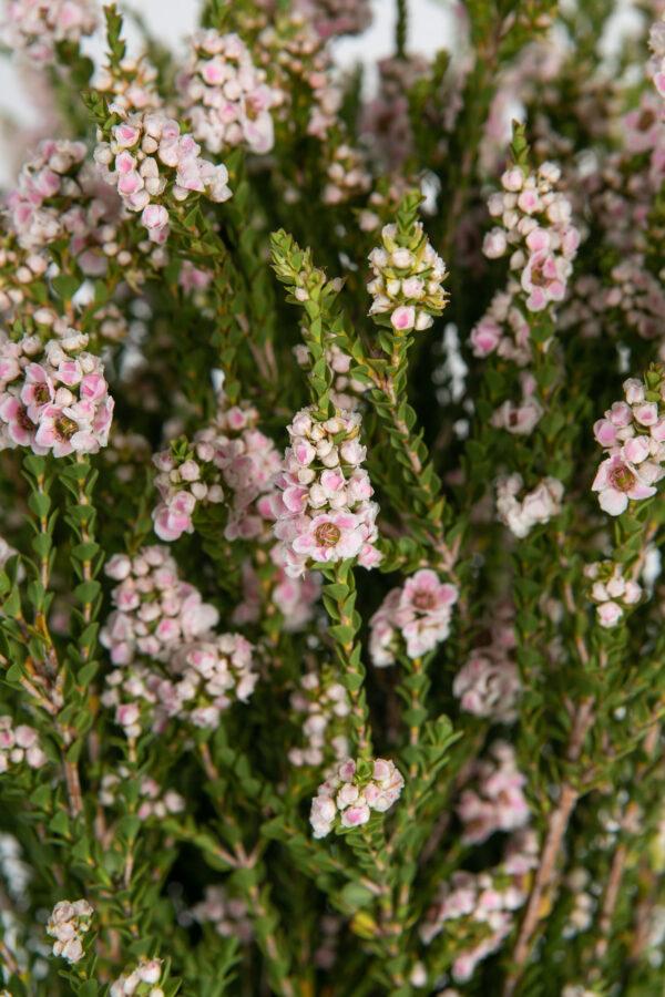 Scholtzia Pink