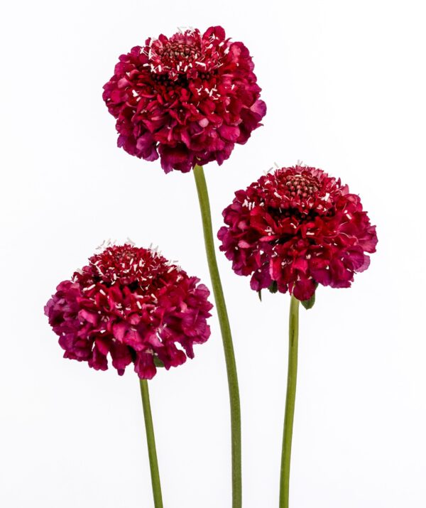 Scabiosa Strawberry