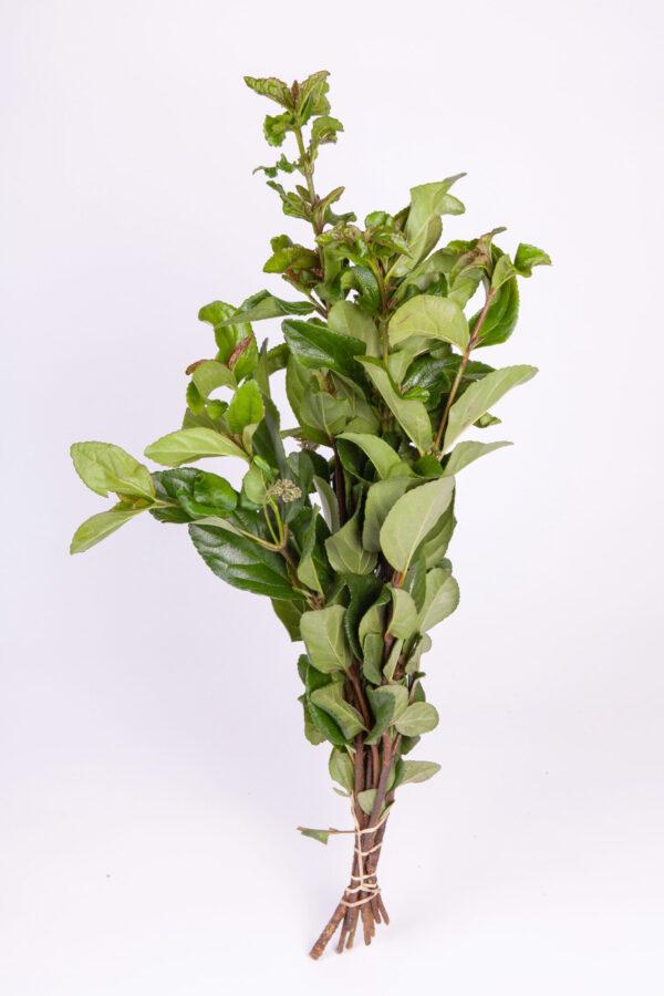 Viburnum Foliage