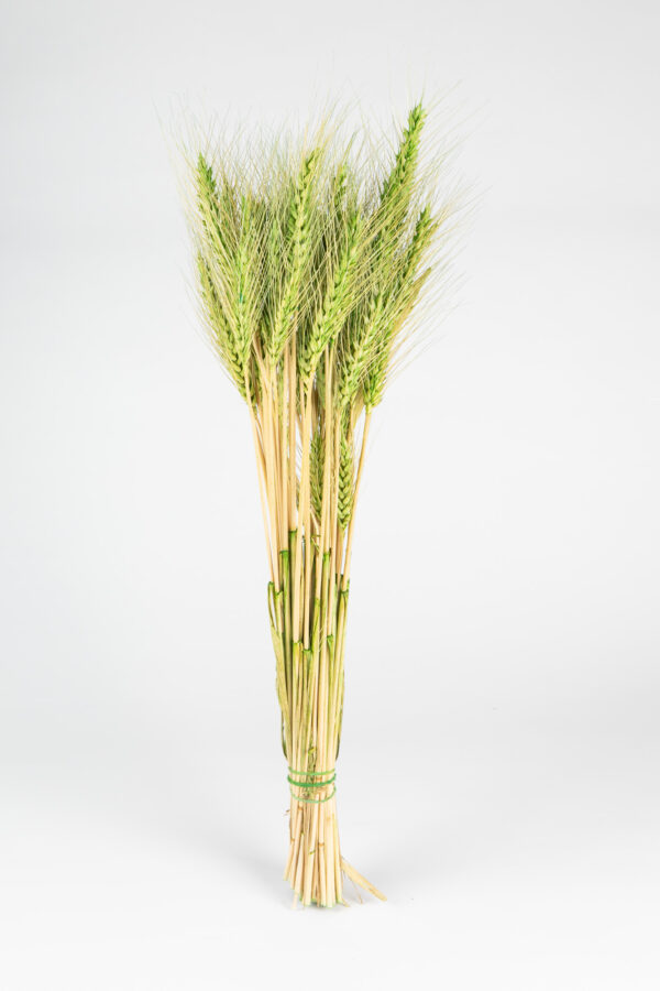 Wheat Dry Tinted Green